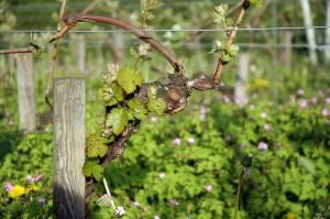 Vine,_vineyard,_Riesling,_Germany,_organic_agriculture